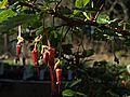 H20150129-3852—Ribes speciosum—RPBG (15777156924).jpg