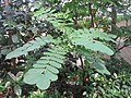 HK 灣仔 Wan Chai 囍匯 The Avenue Rooftop Garden terrace plants Oct 2017 IX1 pinnate compound leaves.jpg