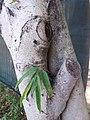 HK CWB 銅鑼灣 Causeway Bay 維多利亞公園 Victoria Park tree trunk n green leaves December 2019 SSG 37.jpg
