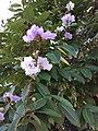 HK SSP 深水埗 Sham Shui Po 長沙灣道 Cheung Sha Wan Road 元州邨 Un Chau Estate 大葉紫微 purple flowers June 2020 SS2 12.jpg
