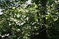Halesia diptera var. magniflora 4zz.jpg