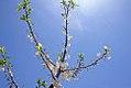 Halesia tetraptera Arnold Pink 1zz.jpg