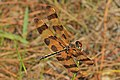 Halloween Pennant - Celithemis eponina, Long Pine Key, Everglades National Park, Homestead, Florida (31266608584).jpg