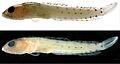 Haptoclinus dropi holotype, USNM 414915 - ZooKeys-306-071-g001.jpeg
