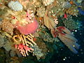 Hard and soft corals and sponges at Middelmas PA208647.JPG