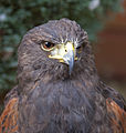 Harris Hawk Head (3863001310).jpg