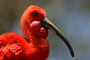 Scarlet ibis - Head of scarlet ibis