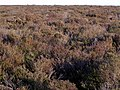 Heathland, Handy Cross Plain, New Forest - geograph.org.uk - 296695.jpg