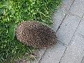 Hedgehog in Jurmala.jpg
