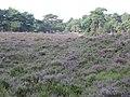 Heide op Camping De Hoogte - panoramio.jpg