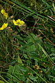Helianthemum nummularium ssp. obscurum PID310.jpg