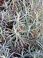 Helichrysum splendidum07.jpg