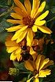 Heliopsis helianthoides var. scabra Summer Sun 1zz.jpg