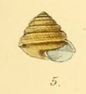 Sitala palmaria - Drawing of an apertural view of the shell of Sitala palmaria