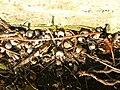 Helix aspersa, shell cemetery.JPG