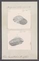 Helix leucophthalma - - Print - Iconographia Zoologica - Special Collections University of Amsterdam - UBAINV0274 089 01 0084.tif