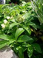 Helleborus orientalis1.jpg