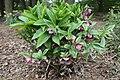 Helleborus orientalis IMG 4142 C.JPG
