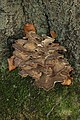 Hen of the Woods - Grifola frondosa (24664000068).jpg