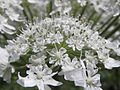 Heracleum mantegazzianum R.H. 16.jpg