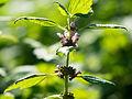 Herzgespann, lat. Leunurus cardiaca, Blütten, Pflanze.jpg