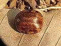Hevea brasiliensis seed at Peravoor (5).jpg