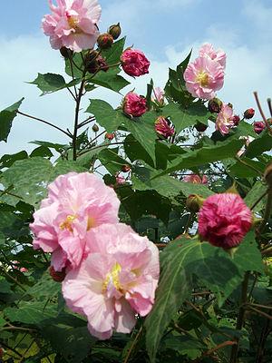 Confederate rose (Hibiscus mutabilis 'Versicolor')