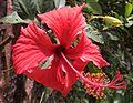 Hibiscus aute.jpg