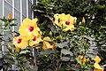 Hibiscus rosa-sinensis Jason 5zz.jpg