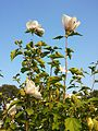 Hibiscus syriacus sl7.jpg