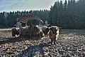 Highland cattle in Fagne Tirifaye, Waimes, Belgium (VeloTour intersection 80, DSCF3648).jpg