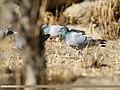 Hill Pigeon (Columba rupestris) (32928679638).jpg