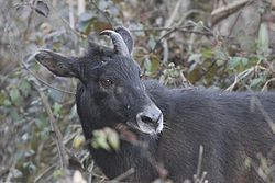 Himalayan Serow Pangolakha Wildlife Sanctuary East Sikkim Sikkim India 13.02.2016.jpg