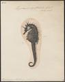 Hippocampus guttulatus - 1700-1880 - Print - Iconographia Zoologica - Special Collections University of Amsterdam - UBA01 IZ14500043.tif