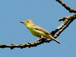 Old World warbler - Icterine warbler, Hippolais icterina