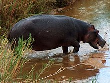 A hippo splashes in the water