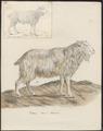 Hircus aegagrus - zonder hoorns - 1700-1880 - Print - Iconographia Zoologica - Special Collections University of Amsterdam - UBA01 IZ21300239.tif