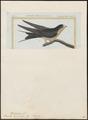 Hirundo americana - 1700-1880 - Print - Iconographia Zoologica - Special Collections University of Amsterdam - UBA01 IZ16700159.tif