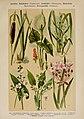 Hoffmann-Dennert botanischer Bilderatlas (Taf. 14) (6424988355).jpg