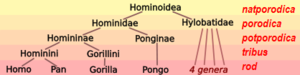 Hominoid taxonomy 7 hr.PNG
