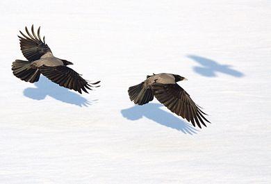 Zwei Nebelkrähen fliegen über einer Schneedecke