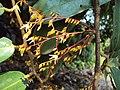 Hopea ponga flowers at Keezhpally (3).jpg