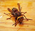 Hornet Vespa crabro (44541381572).jpg