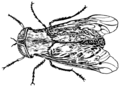Horsefly2 (PSF).png