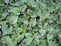 Houttynia cordata Leaf.jpg