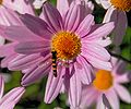 Hoverfly - July 2007-1.jpg
