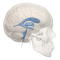 Human ventricular system - right side view.png