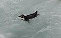 Humboldt Penguin (Spheniscus humboldti) (9496964083).jpg