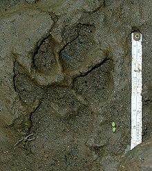 Striped hyena - Wikipedia