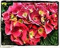 Hydrangea - Flickr - pinemikey.jpg